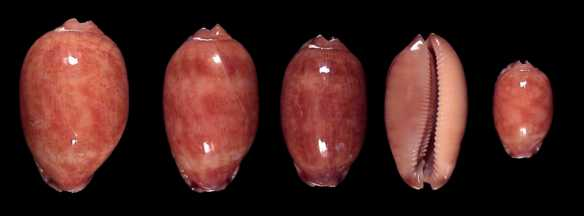 http://www.seashell-collector.com/articles/2005/Lorenz/Sri%20Lanka_fichiers/arabicasubfossil.jpg