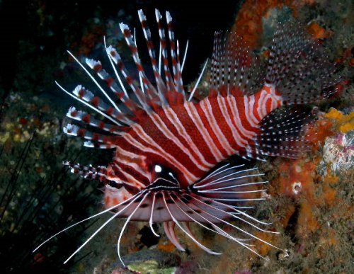 http://www.scuba-equipment-usa.com/marine/AUG04/images/Pterois_antennata.jpg